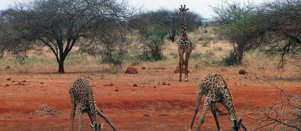 Fotografía de África: Africa, girafas en Kenia