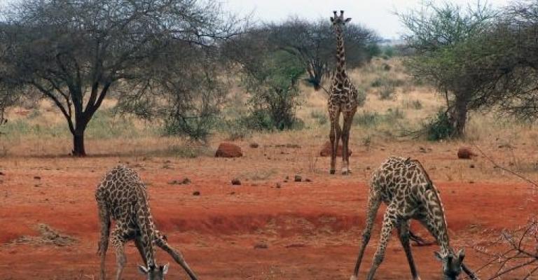 Foto von Afrika: Africa, girafas en Kenia